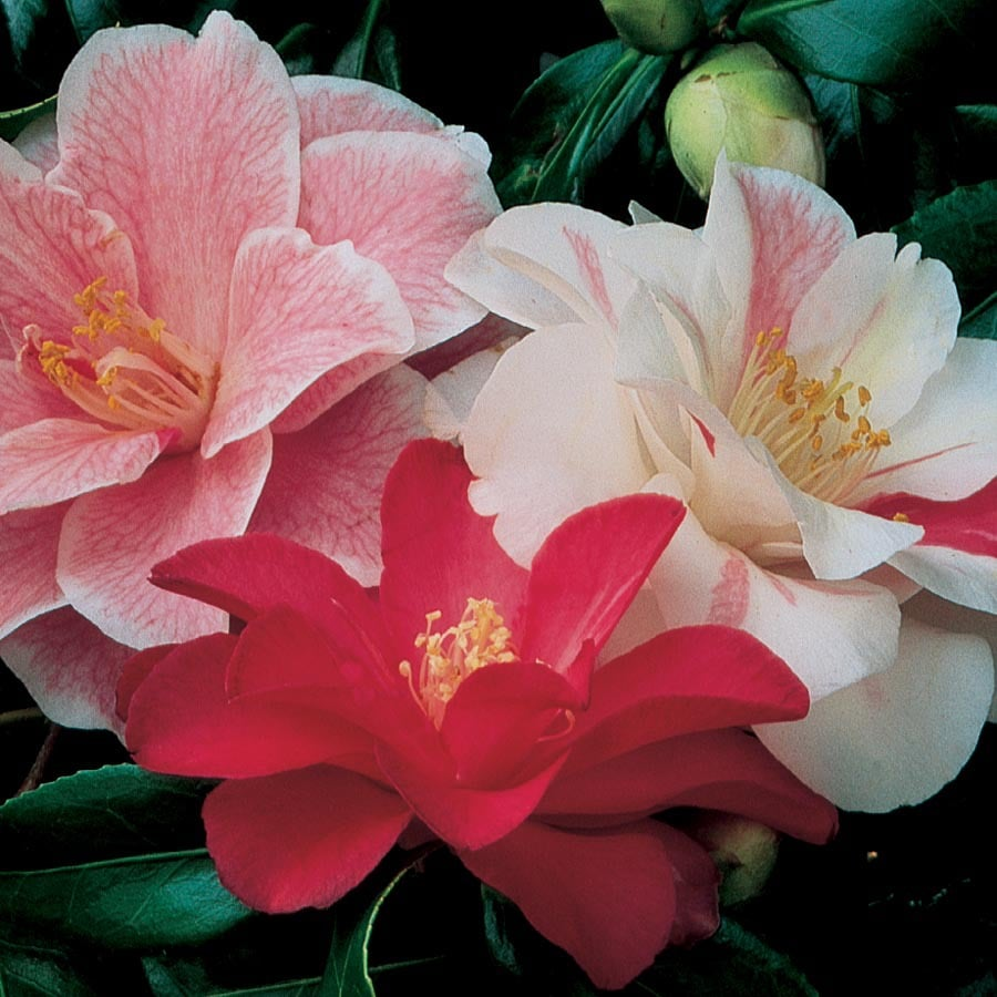 3.25-Gallon Mixed Camellia Flowering Shrub (L3455)