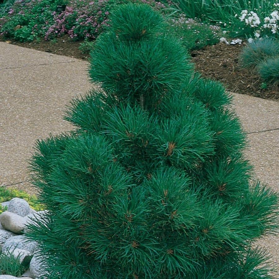 3.58-Gallon Dwarf Swiss Stone Pine Feature Tree (L22027)