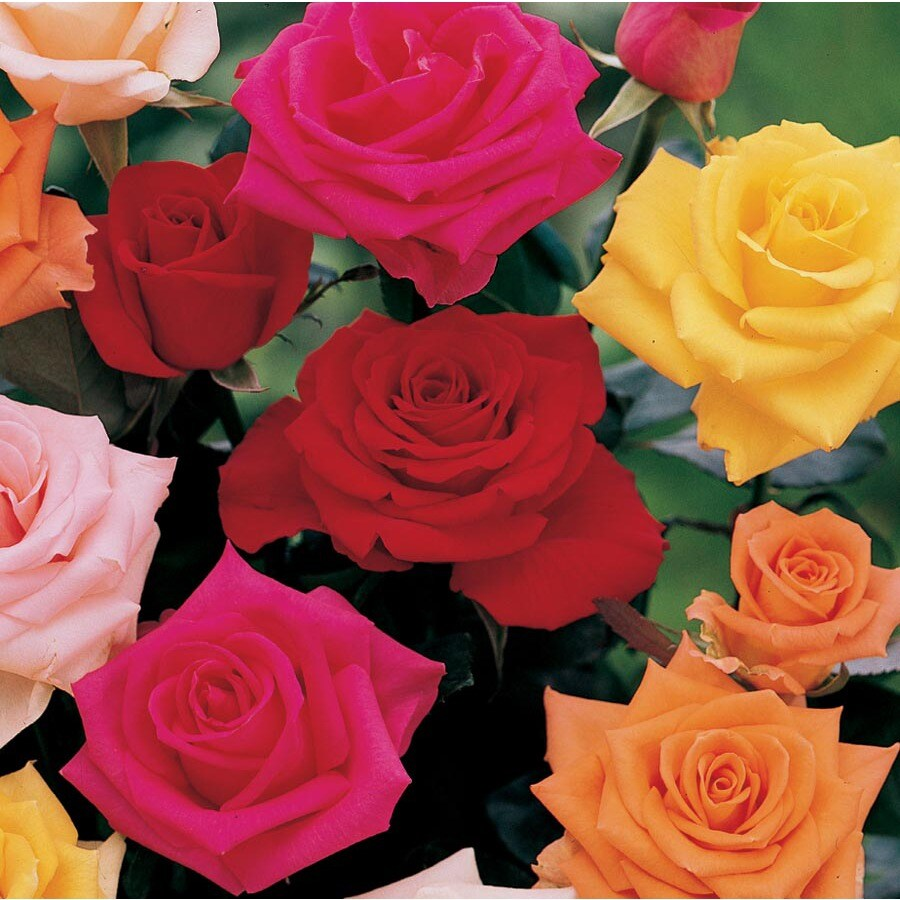 3.25-Gallon Climbing Rose (L6421)
