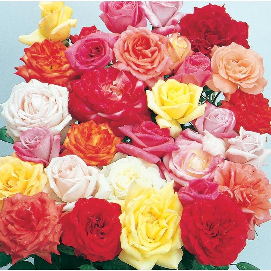 3.58-Gallon Rose (L6023)