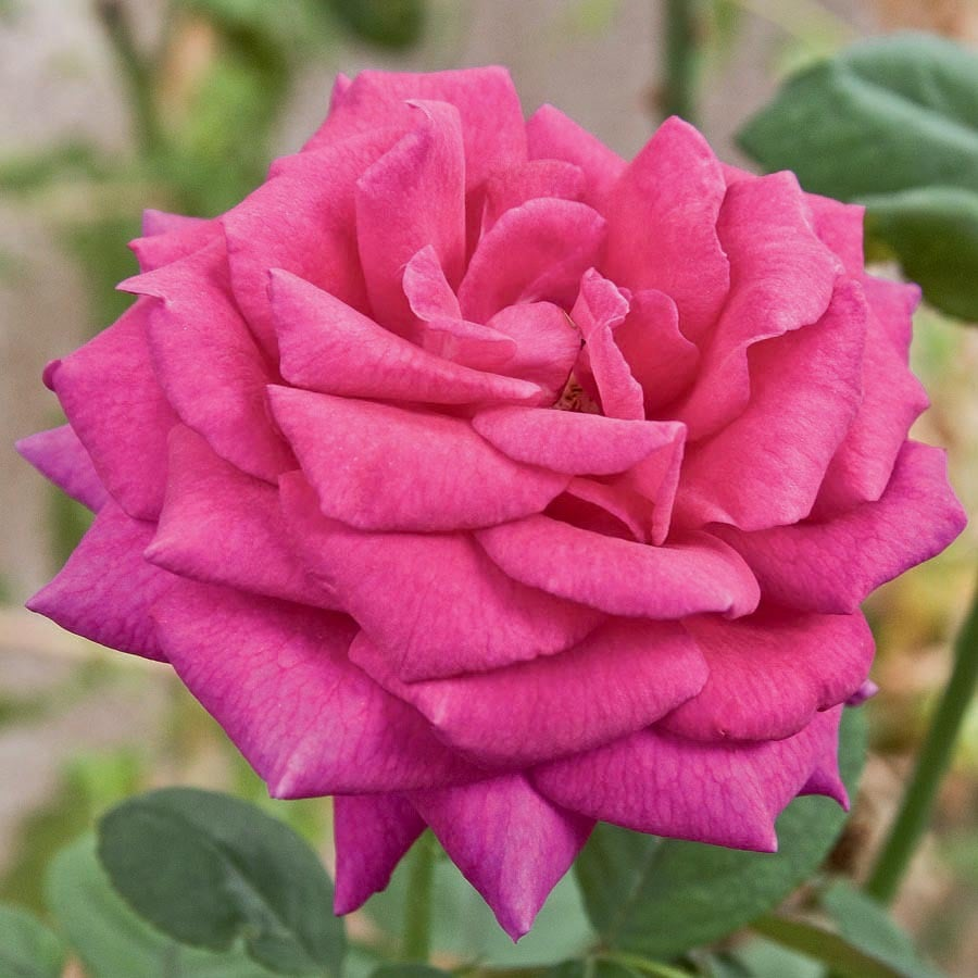 1.5-Gallon Red Purple Rose Flowering Shrub (L27469)