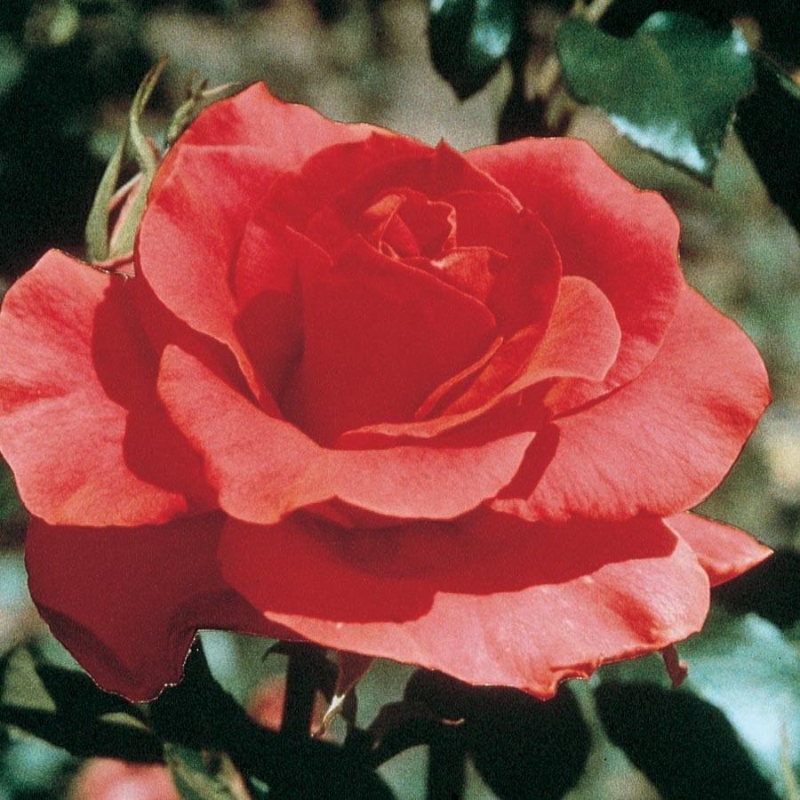 1.5-Gallon Orange Orange Rose Flowering Shrub (L2223)