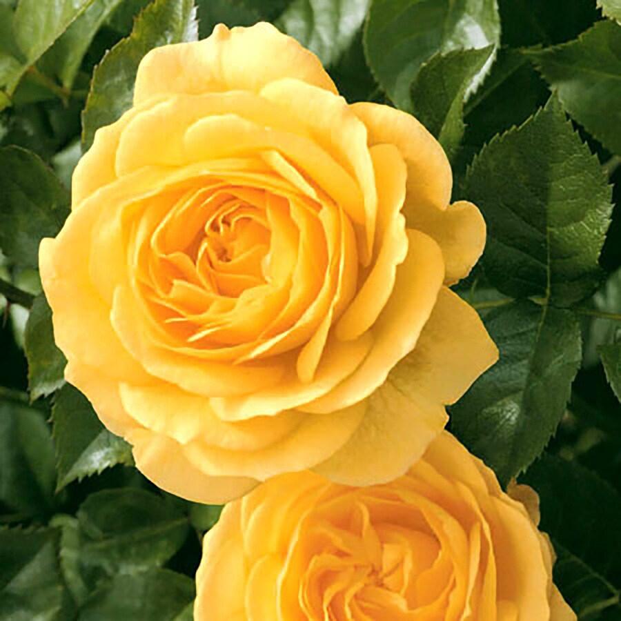 1.5-Gallon Yellow Rose Flowering Shrub