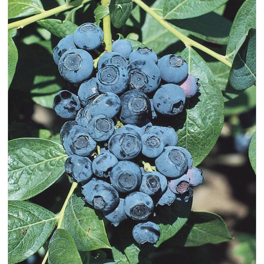 WR Vanderschoot 2-Pack Climax Blueberry (L1419)
