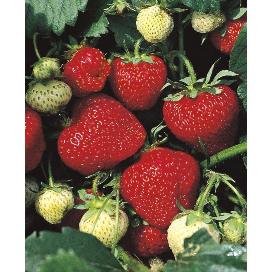 WR Vanderschoot 20-Count Tristar Everbearing Strawberry (L11172)