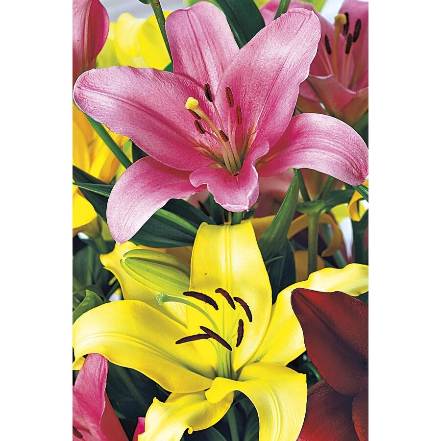 1-Gallon Asiatic Lily (Lw01857)