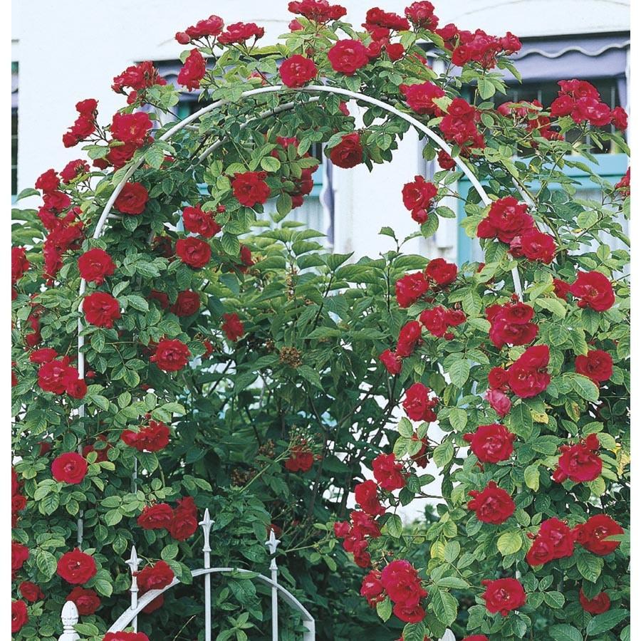 3.25-Gallon Climbing Rose (L10152)
