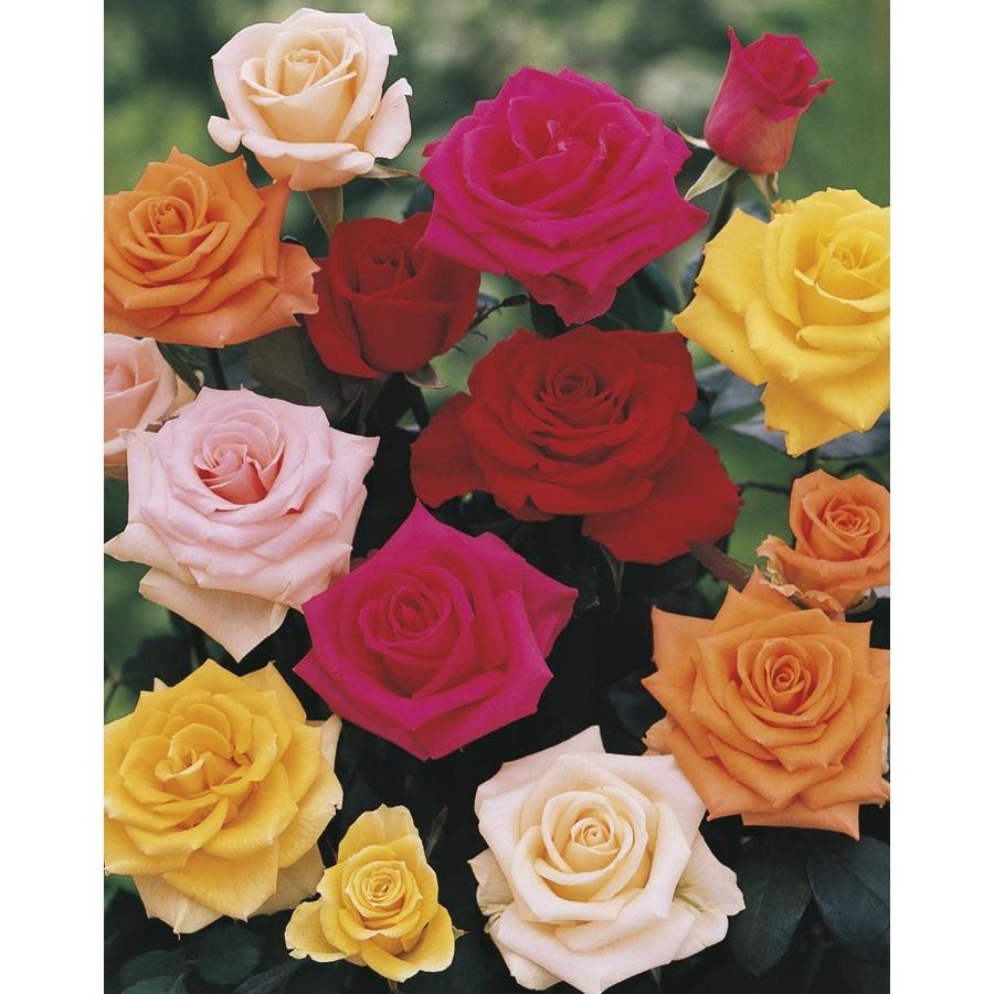 5-Gallon Climbing Rose (L6421)