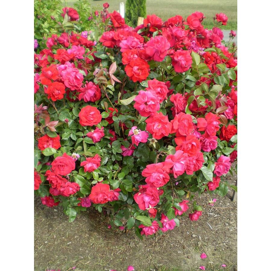 1.6-Gallon Red Rose Accent Shrub