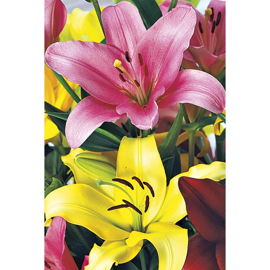2.25-Gallon Asiatic Lily (Lw01857)