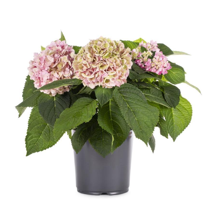 2.5-Quart Mixed Hydrangea Flowering Shrub (L6357)