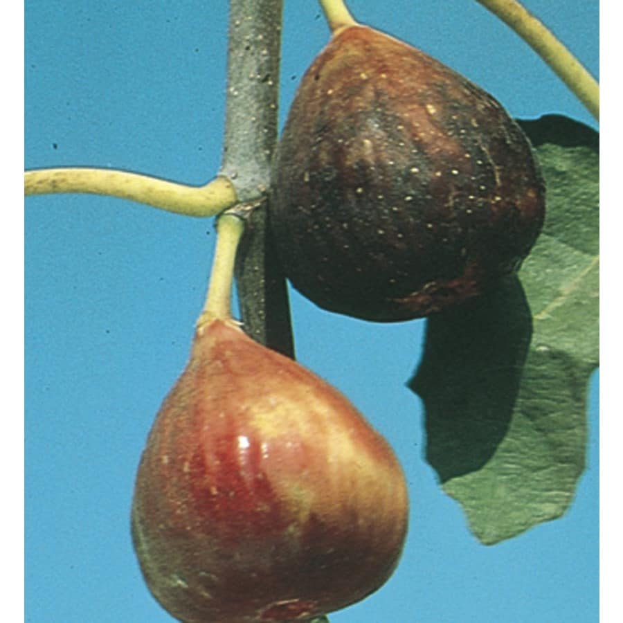 2.25-Gallon Fig Small Fruit (L5982)
