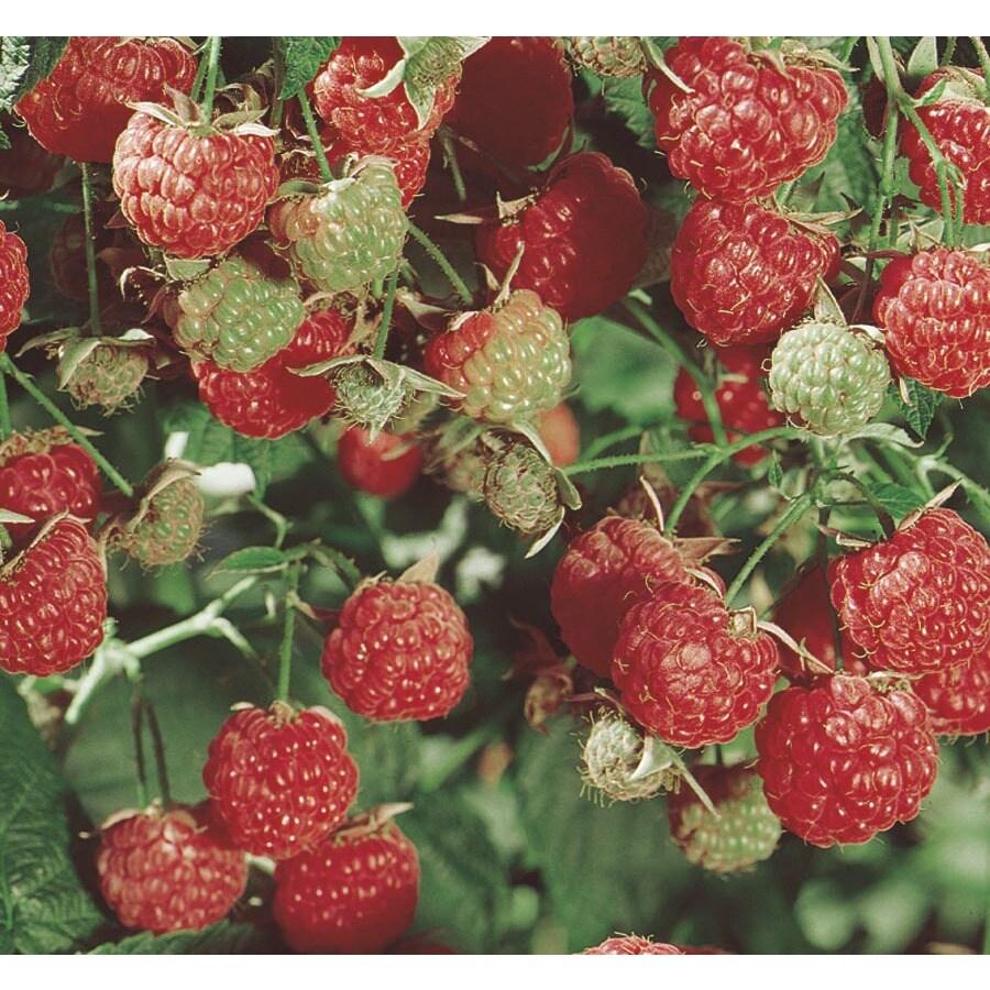 2.25-Gallon Raspberry Small Fruit (L5813)