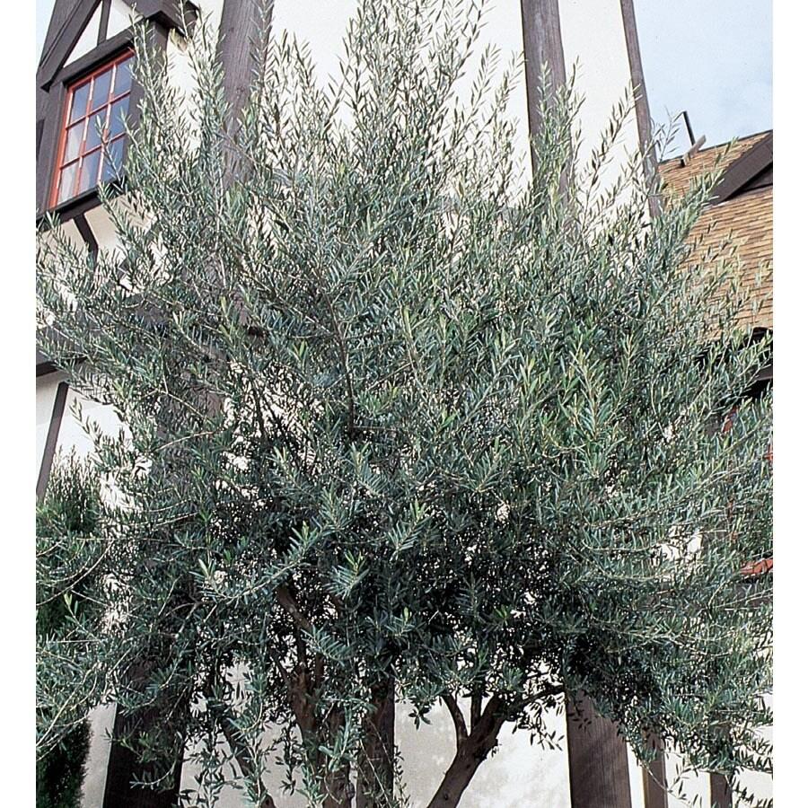 2.25-Gallon European Olive Feature Tree (L14921)