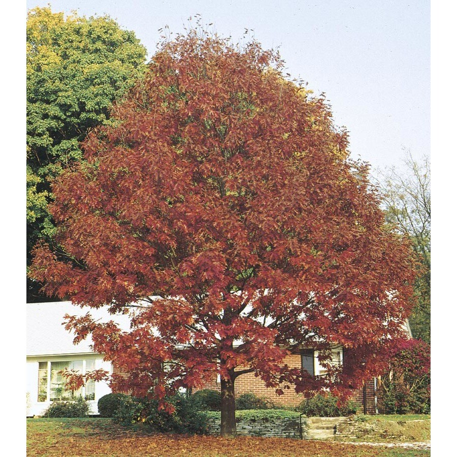 6.08-Gallon Northern Red Oak Shade Tree (L4574)