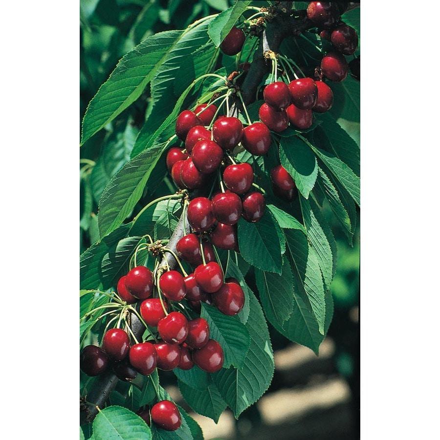 3.25-Gallon North Star Semi-Dwarf Cherry Tree (L11447)