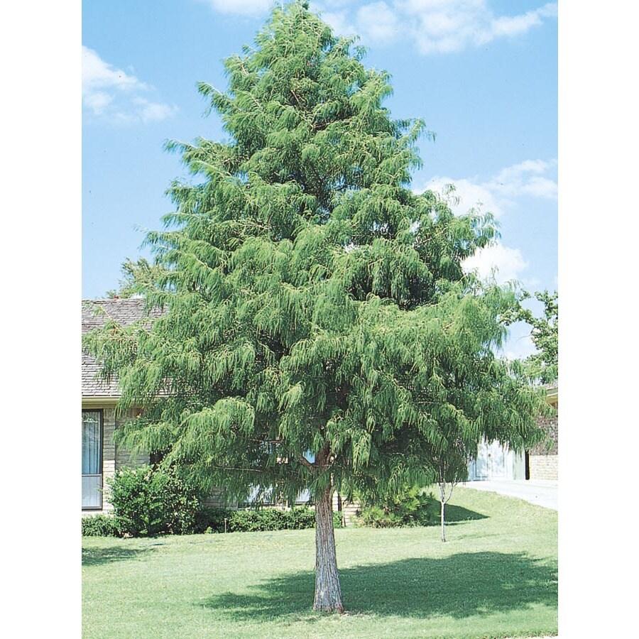 3.74-Gallon Bald Cypress Shade Tree (L3245)