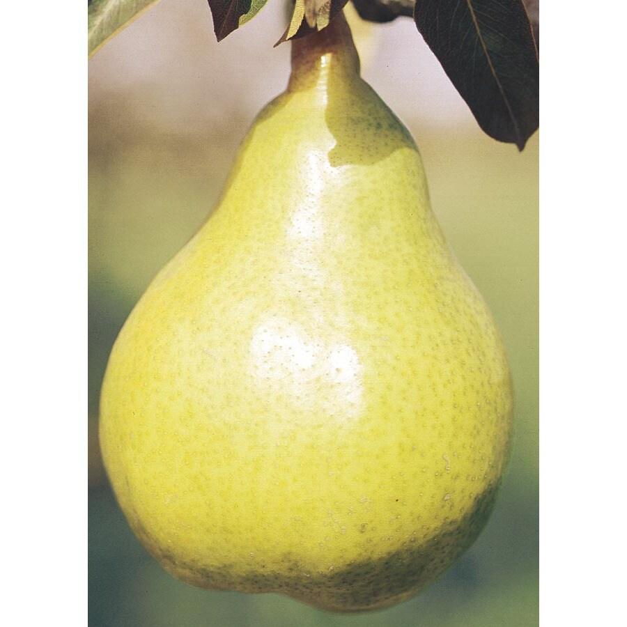 3.74-Gallon Keiffer Pear Tree (L3239)
