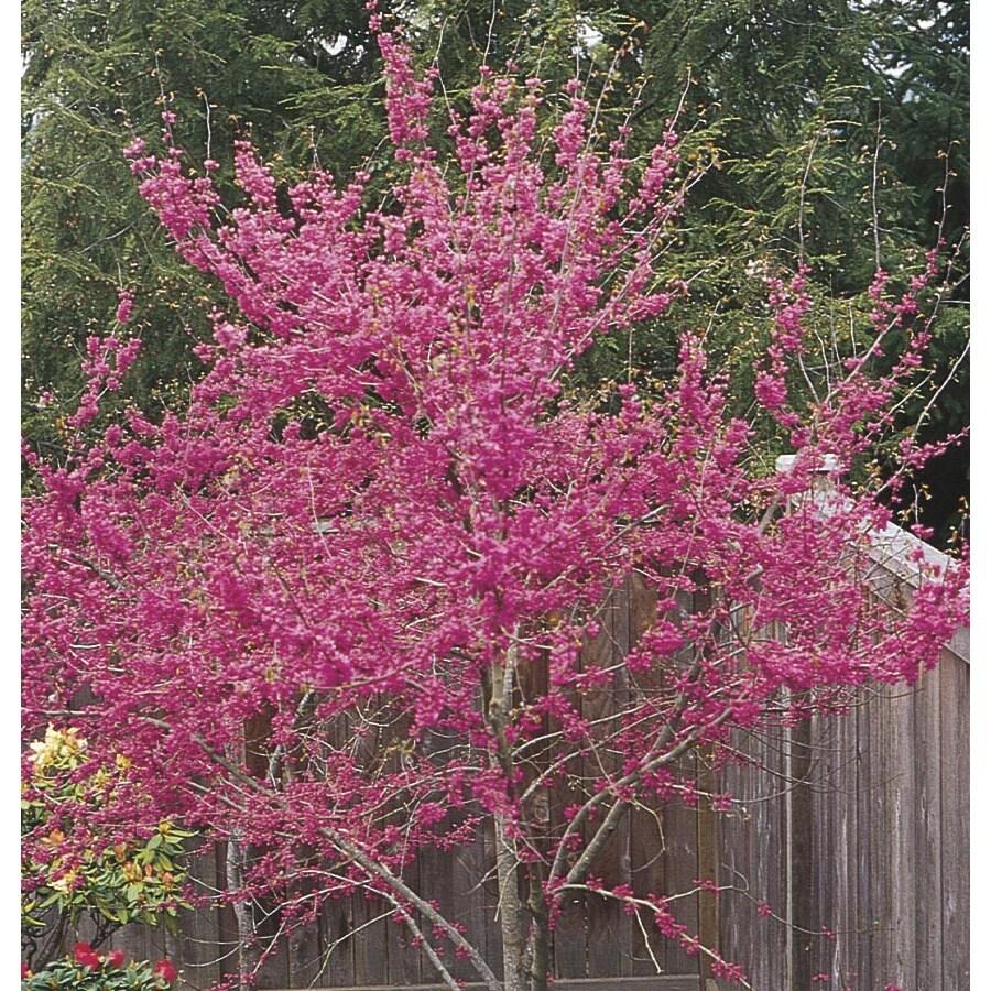 3.63-Gallon Oklahoma Redbud Flowering Tree (L1158)