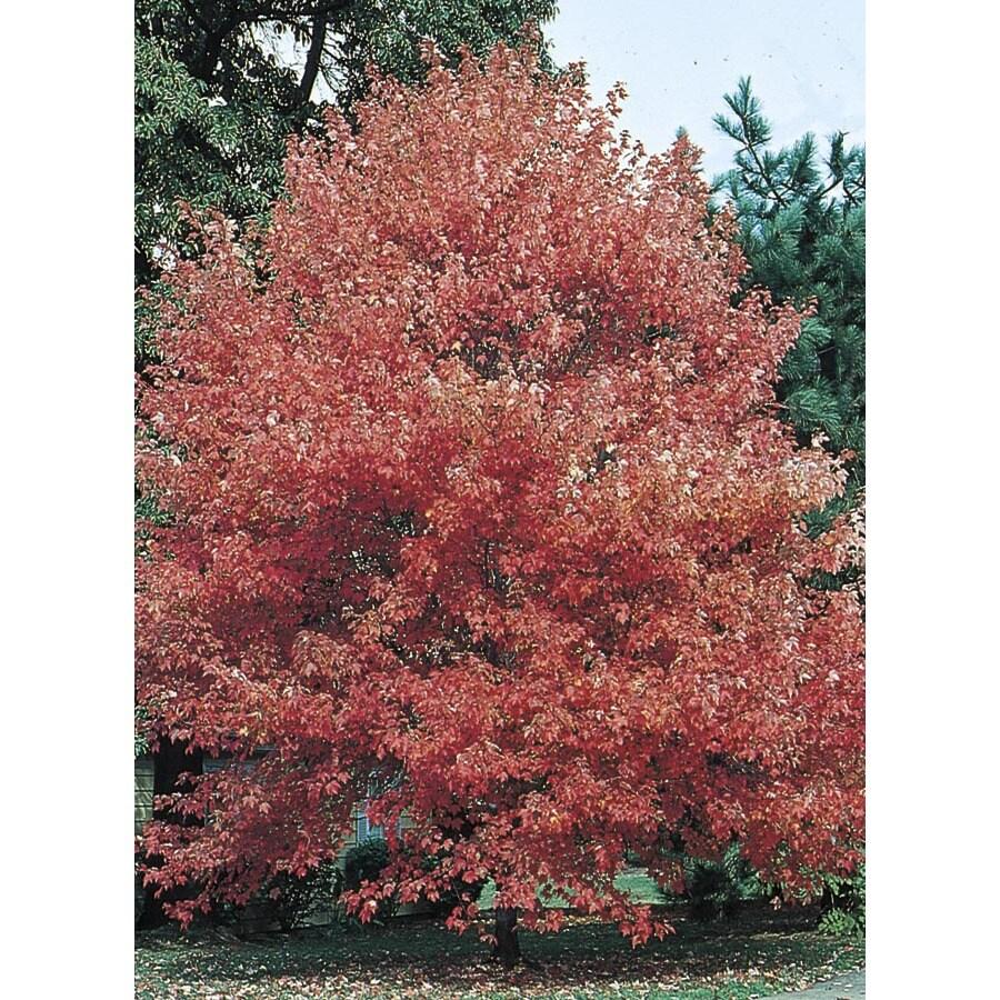 13.35-Gallon Autumn Flame Maple Shade Tree (L3170)