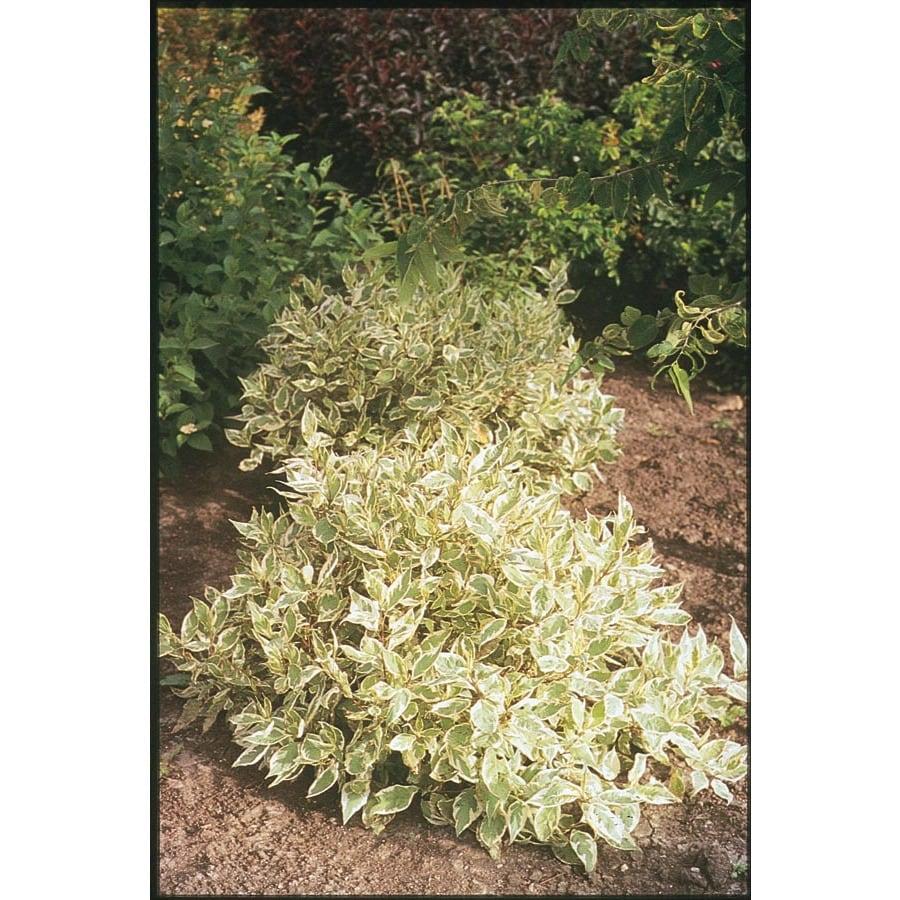 2.25-Gallon White Ivory Halo Dogwood Flowering Shrub (L9847)