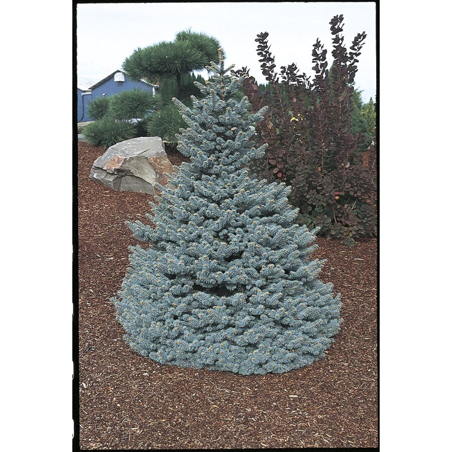 3.25-Gallon Baby Blue Colorado Spruce Feature Tree (LW03826)