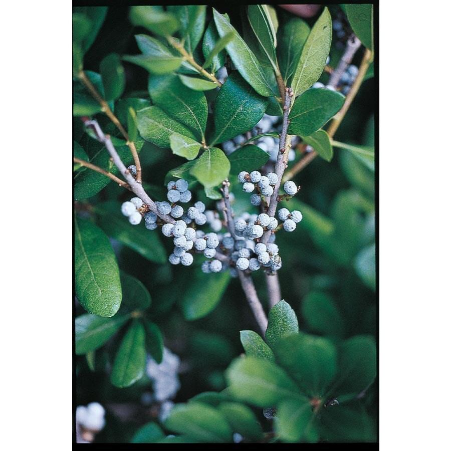 2.25-Gallon Bayberry Foundation/Hedge Shrub (L11308)