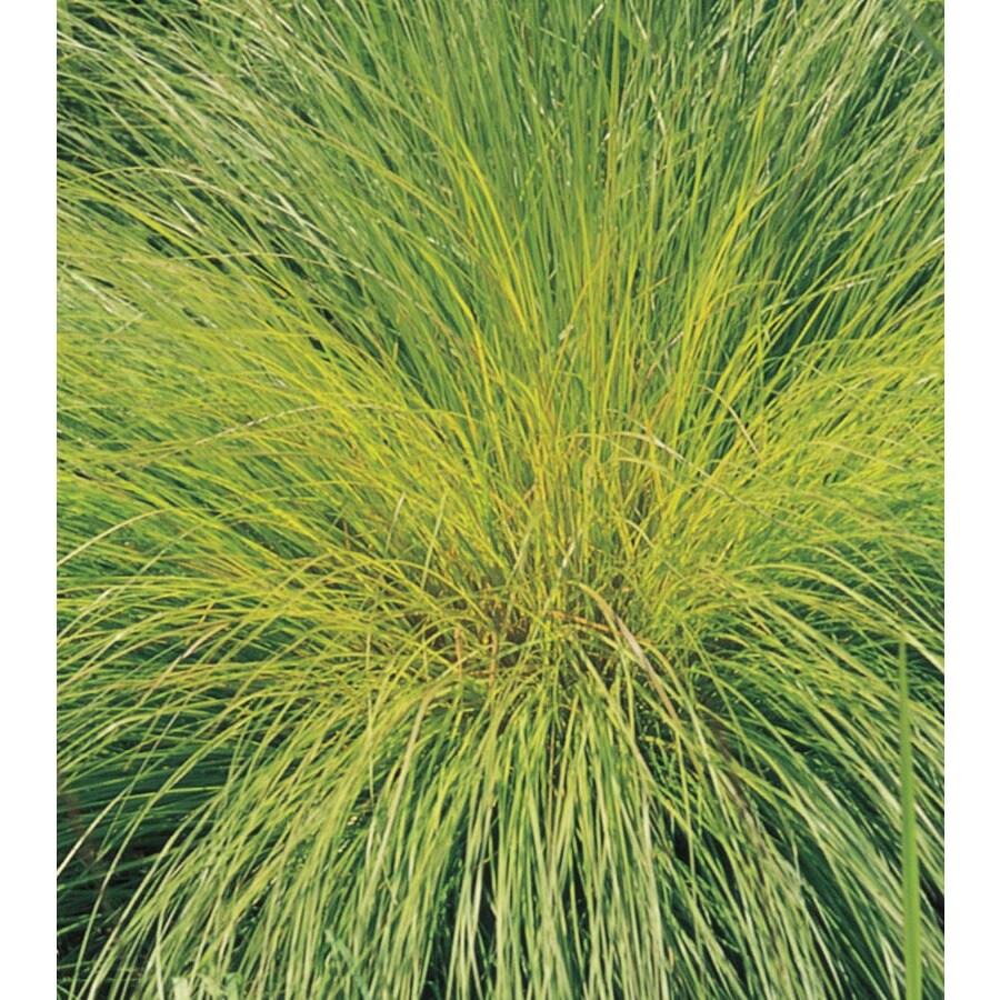 1.5-Gallon Prairie Dropseed Grass (L16411)