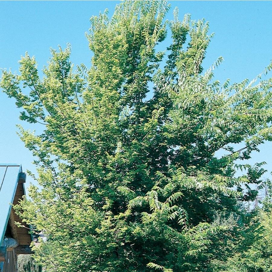 5.5-Gallon Common Hackberry Shade Tree (L12013)