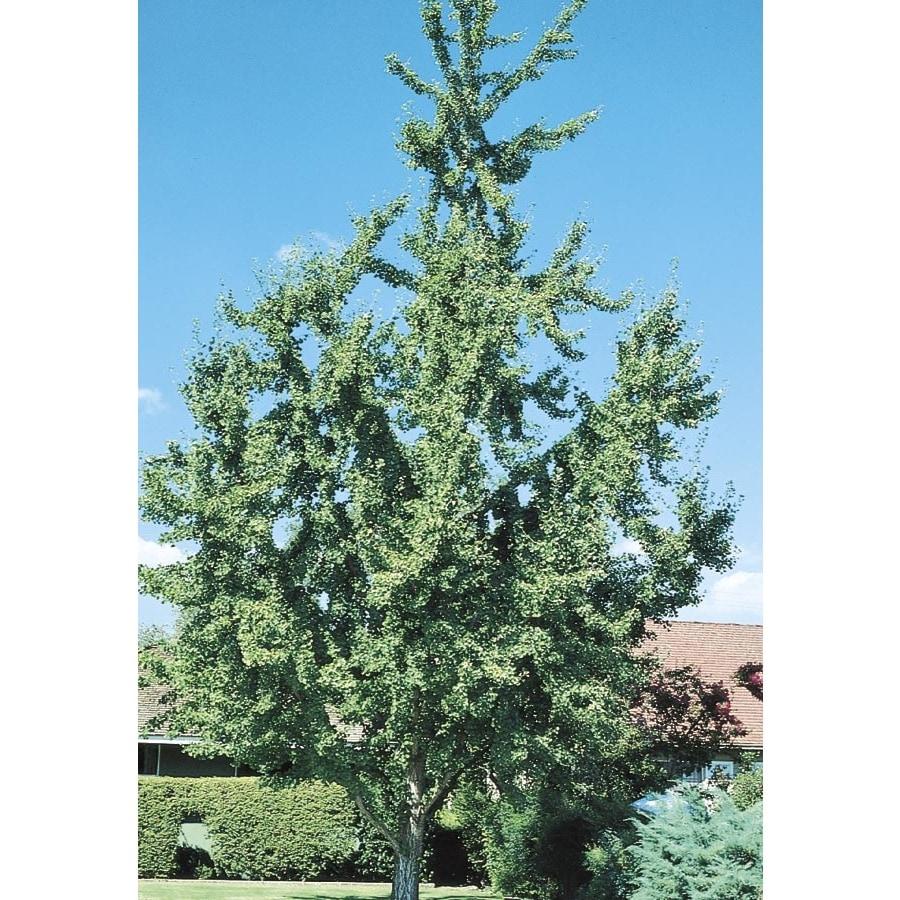 6.08-Gallon Ginkgo Shade Tree (L1045)