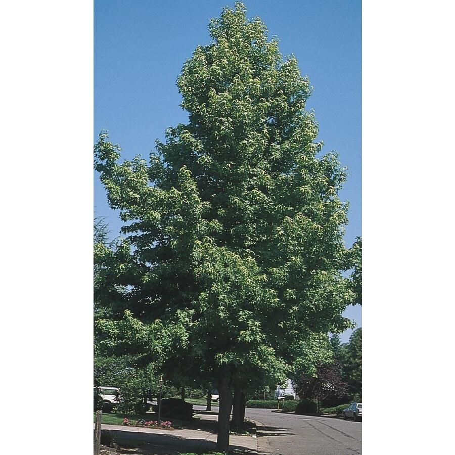 43.5-Gallon Sweetgum Tree Shade Tree (L1001)