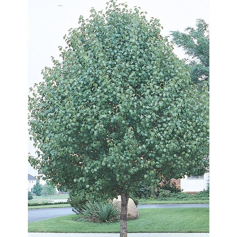 6.08-Gallon Bradford Flowering Pear Flowering Tree (L3235)