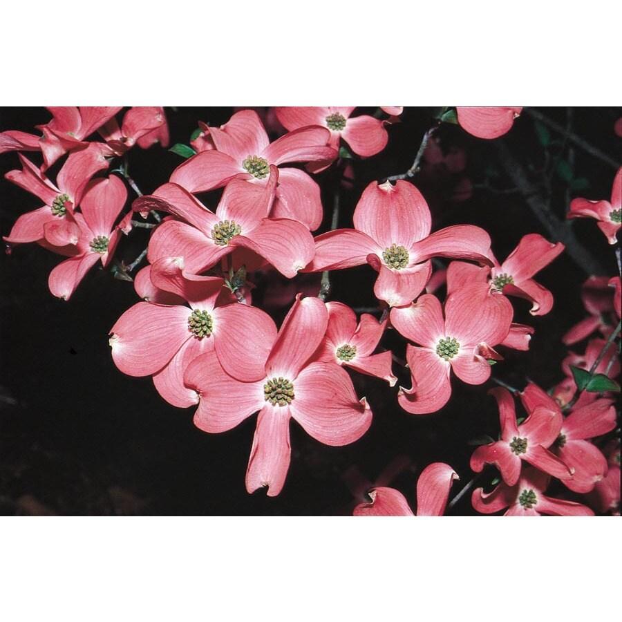 24.5-Gallon Stellar Pink Flowering Dogwood Flowering Tree (L7330)