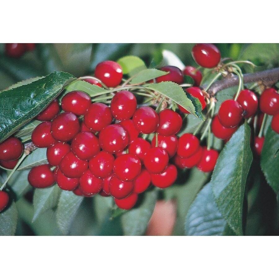 3.25-Gallon Early Richmond Cherry Tree (L6898)