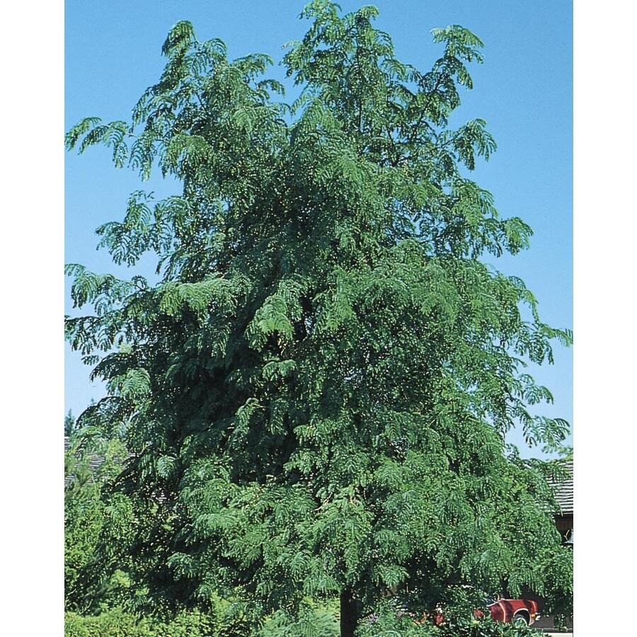 10.25-Gallon Skyline Honeylocust Shade Tree (L1079)