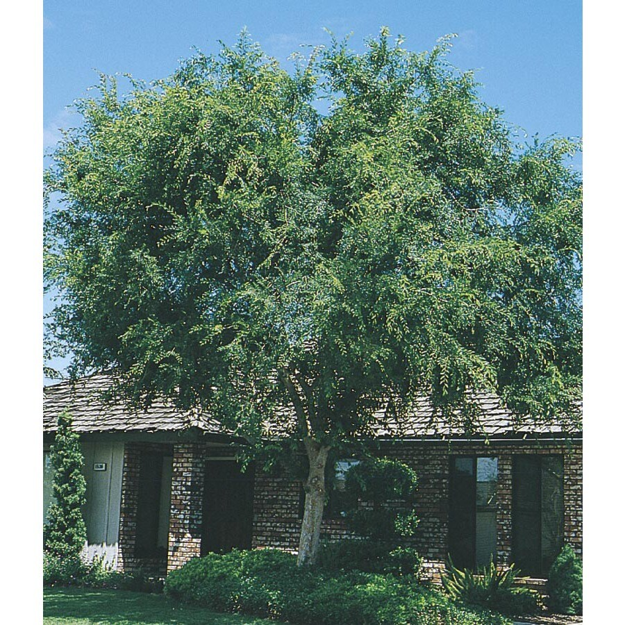 3.74-Gallon Lace Bark/Chinese Elm Shade Tree (L4376)