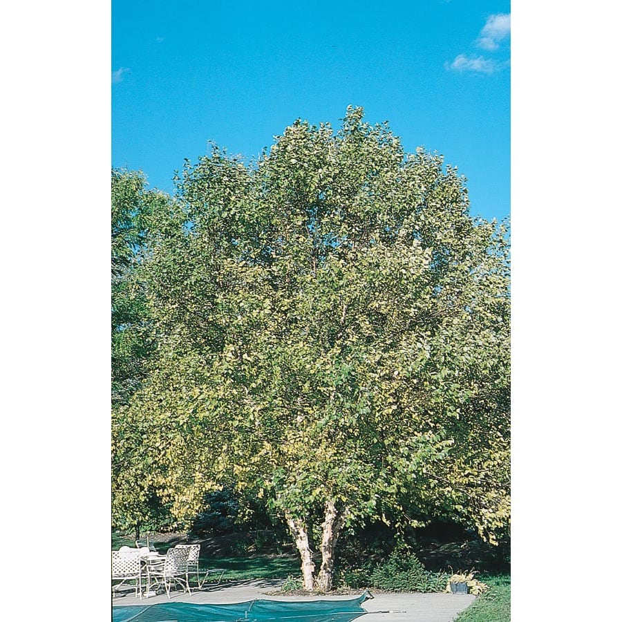 43.5-Gallon Clump River Birch Feature Tree (L1131)