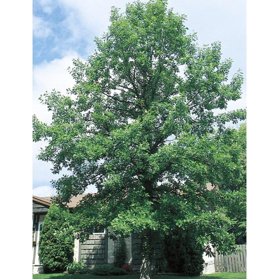 3.74-Gallon Bur Oak Shade Tree (L1102)