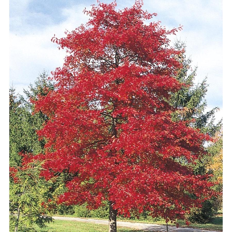 3.25-Gallon Blackgum Shade Tree (LW01684)