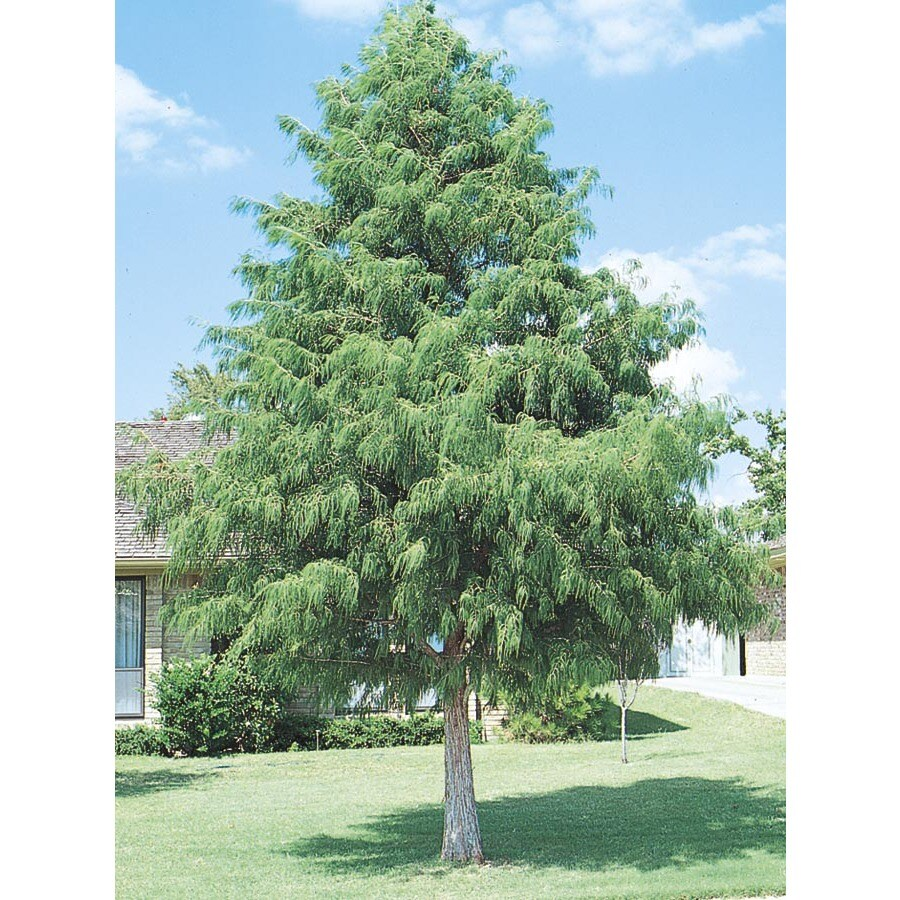 13.35-Gallon Bald Cypress Shade Tree (L3245)