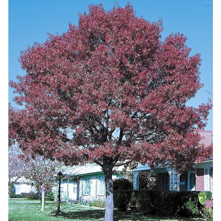 6.08-Gallon Shumard Oak Shade Tree (L1085)