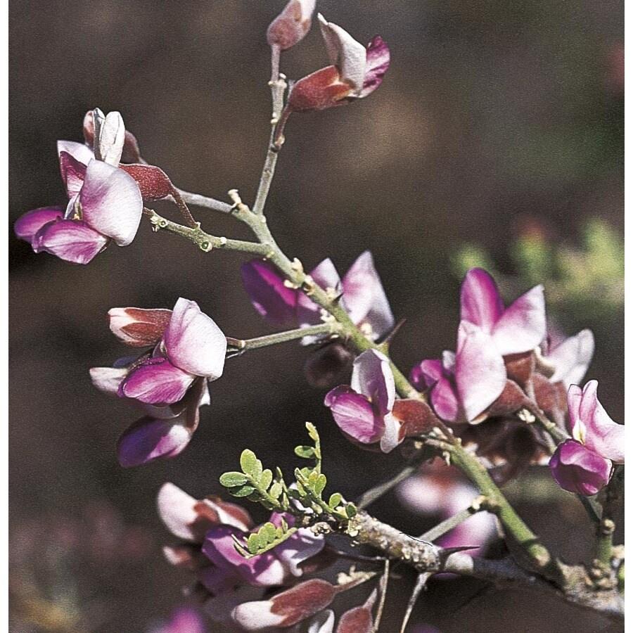 6.08-Gallon Desert Ironwood Flowering Tree (L14922)