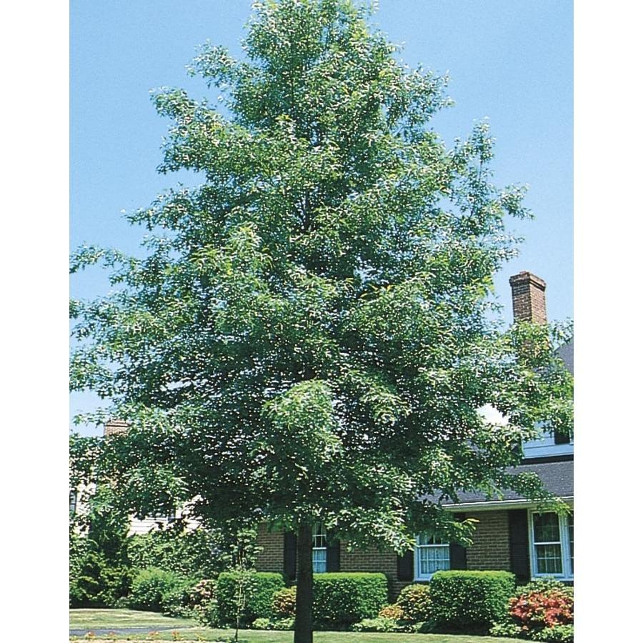 6.08-Gallon Pin Oak Shade Tree (L1097)