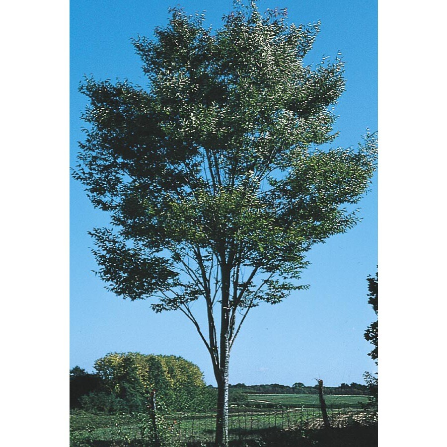 43.5-Gallon Green Vase Zelkova Shade Tree (L7836)
