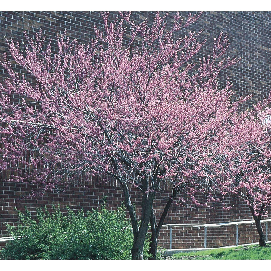6-Gallon Redbud Flowering Tree (L11838)