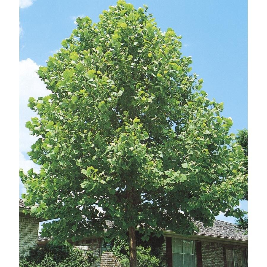 6.08-Gallon Sycamore Tree Shade Tree (L1049)