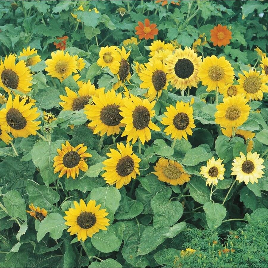 1.5-Gallon Sunflower (L11281)