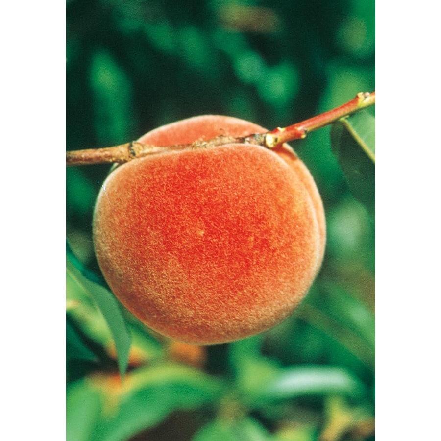 3.25-Gallon Redskin Peach Tree (L3648)