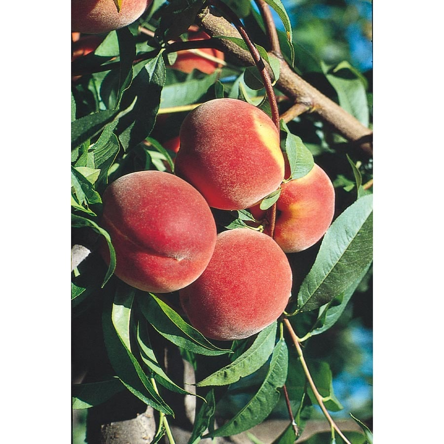 3.25-Gallon Red Globe Peach Tree (L1188)