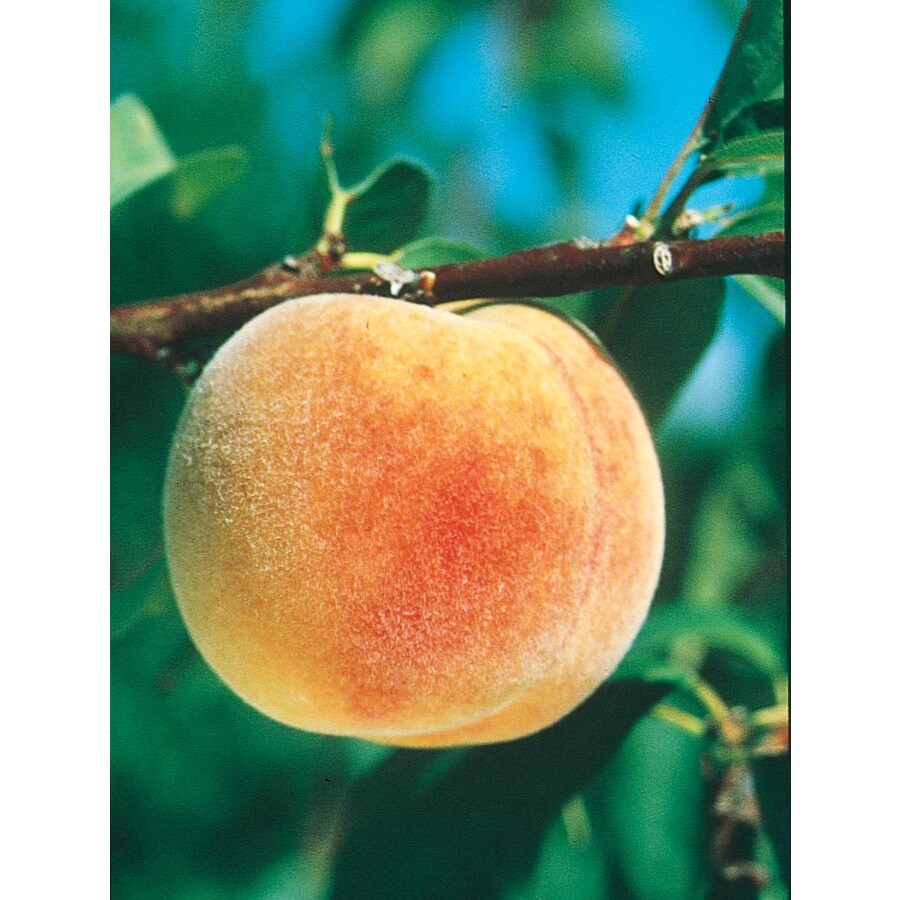 3.25-Gallon Texstar Peach Tree (L1269)